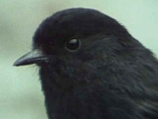 Seven black robins key image.jpg.540x405.compressed