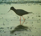 The black stilt key image