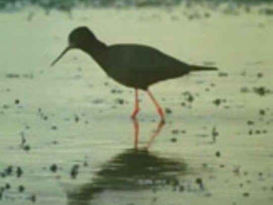 The black stilt key image.jpg.540x405.compressed