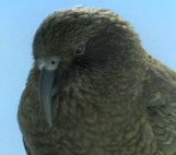 Kea-mountain-parrot-key-image.jpg.161x142