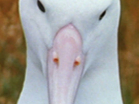 Land of birds   royal albatross key.jpg.540x405