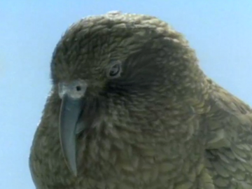 Image for Kea - Mountain Parrot