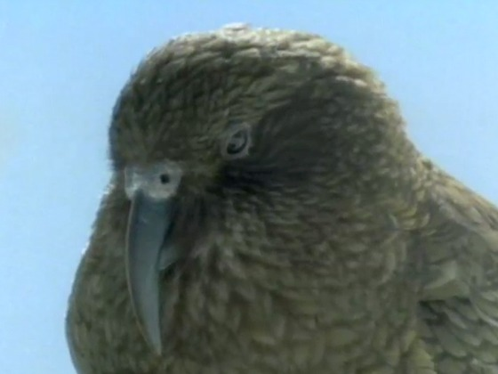 Hero image for Kea - Mountain Parrot