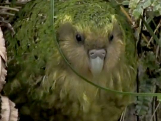 Thumbnail image for The Unnatural History of the Kākāpō