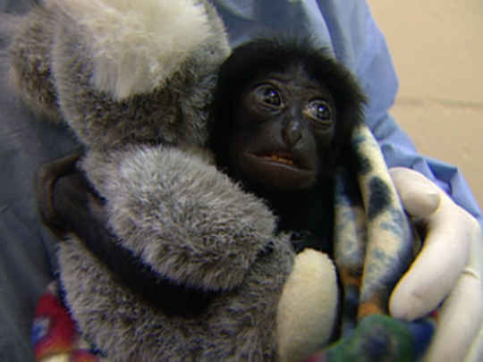 Thumbnail image for Zoo Babies - Raising Baby Iwani