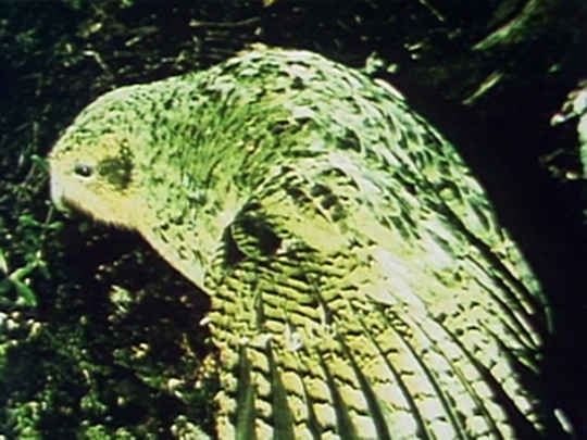 Thumbnail image for Kākāpō - Night Parrot