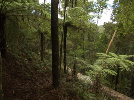 Song of the kauri thumbnail.jpg.540x405